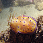 Nudibranch (Paradise Jetty, Manado)