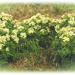mayflowers.bmp