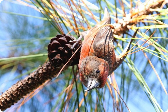 red_vietnamese_crossbill