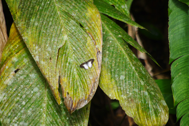 Pareuptychia ocirrhoe ocirrhoe (Fabricius, 1776). Santa Fe, 650 m (Veraguas, Panamá), 19 octobre 2014. Photo : J.-M. Gayman