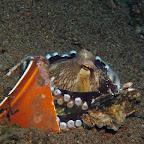 Octopus in can (Dauin, Negros)
