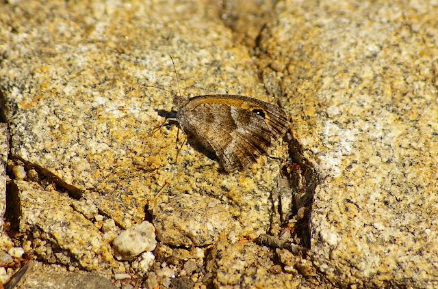 Pyronia cecilia ESPER, 1785. Vetaro (Viggianello, près de Propriano), Corse du Sud, août 2006. Photo : J.-M. Gayman