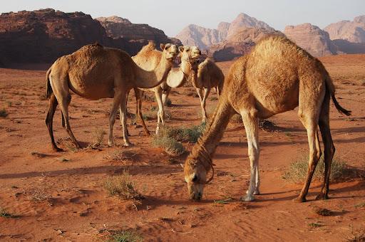 Верблюды в Иордании