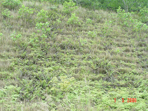 Photo: CHN-UR10 - The stadium/college site five years later. Fully stable with native plants established. Close up of vetiver and native plants - native plantgs being invasive!!