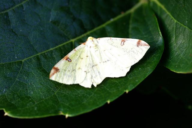 Geometridae : Ennominae : Opisthograptis luteolata (L., 1758). Les Hautes-Lisières (Rouvres, 28), 9 septembre 2012. Photo : J.-M. Gayman