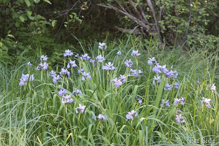 Blue Flag Iris June 20 2017