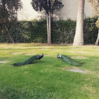 This is the best #peacock pic I've taken, and I've taken a bunch. Haha. #peafowl #HollywoodForever #majestic