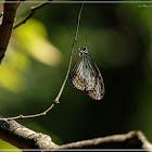 Parantica aglea 絹斑蝶