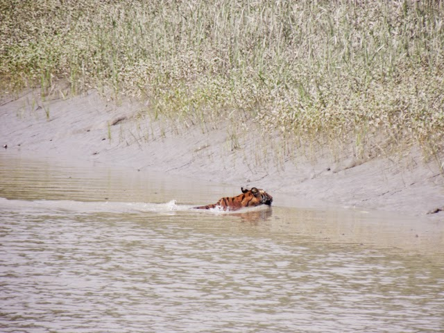 A tiger spotted in a small group tour in Sundarbans with us at 29 Sep, 2014