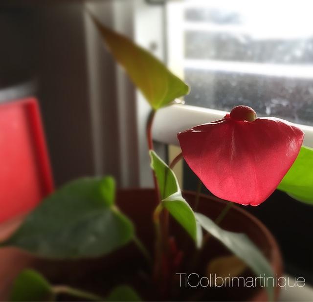 Ti Colibri Martinique 1ere Fleur De Mon Arum