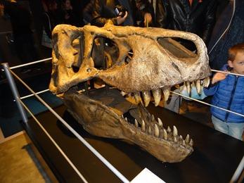 2018.04.30-015 crâne de tyrannosaurus rex