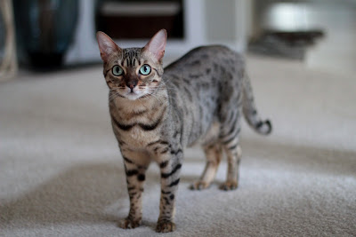 Penny the 2 year old Bengal Cat