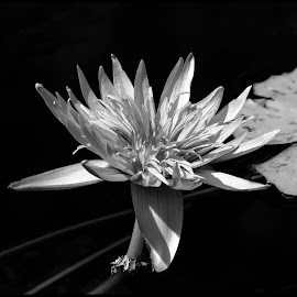 Water Lily by Dave Lipchen - Black & White Animals ( water lily )