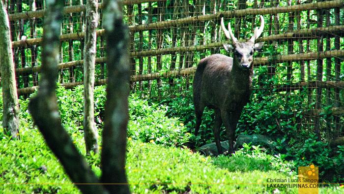 Philippine Brown Deer at Bicol's BacMan Geothermal Plant