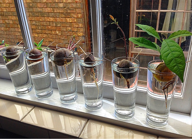 rozzy b natural life diy avocado tree from seed. Black Bedroom Furniture Sets. Home Design Ideas
