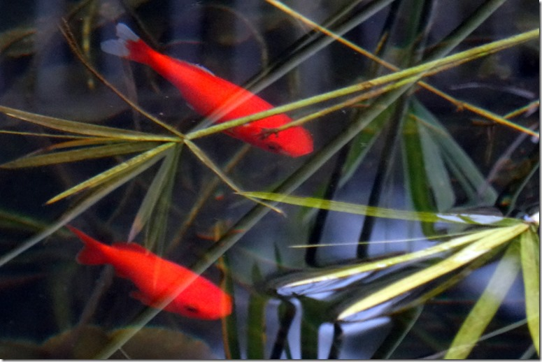 florence goldfish SC 052018 00000
