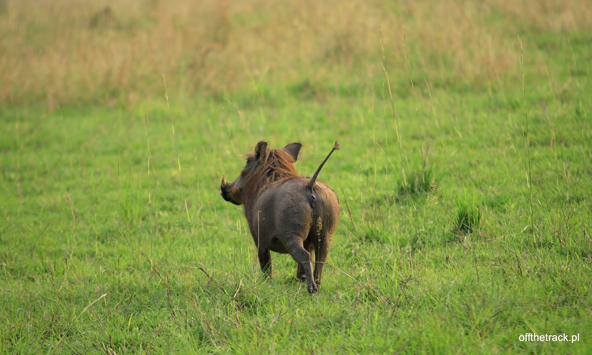 Pumba odwrócona tyłem, park narodowy Murchison Falls, Uganda