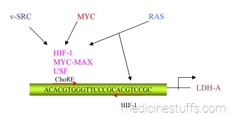 gambar-12-tampat-pengikatan-faktor-transkripsi-promoter-proksimal-gen-penyandi-LDH-A