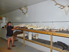 Sheree is seen here gluing teeth back into crocodile skulls and fixing buffalo skulls to wooden plaques. All part of our service at Carmor Plains