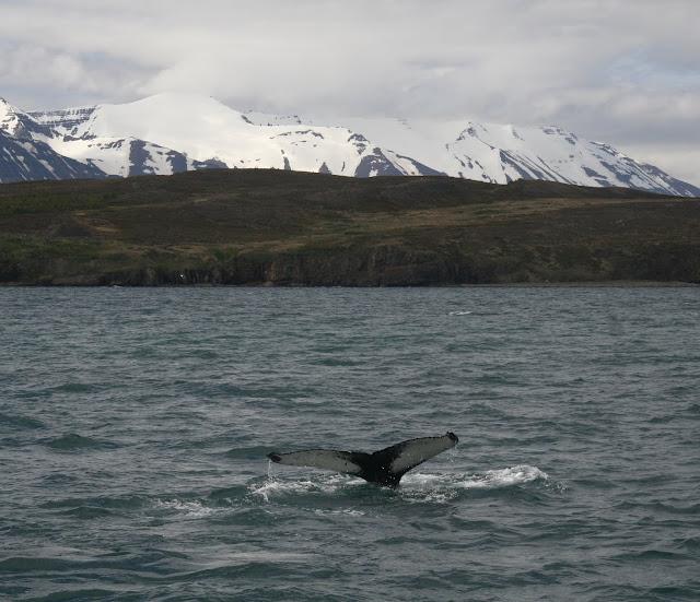 Humpback whale near Dalvik