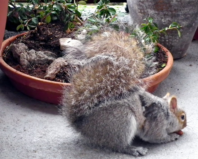 The Squirrel - our Assistant taking lunch near a saikei with cotoneaster