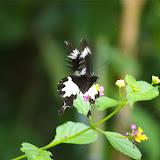 Papilio nephelus albolineatus FORBES, 1885. Sukau, 8 août 2011. Photo : J.-M. Gayman