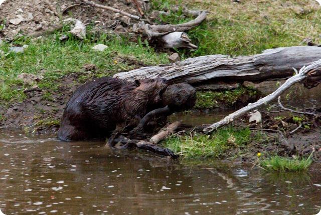 castores en Tierra del Fuego-3