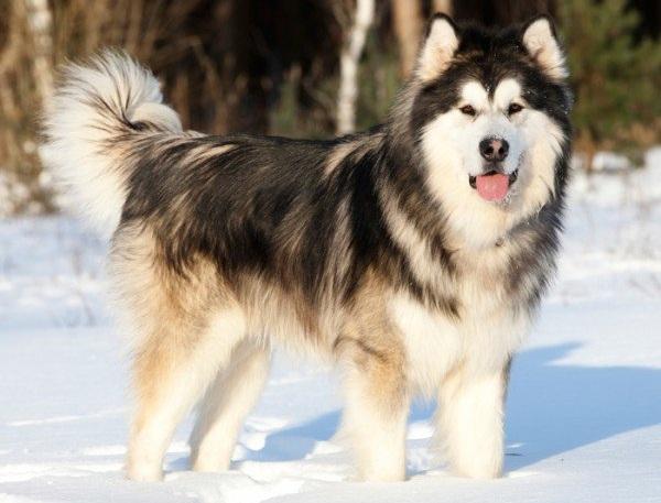 Chó alaska - Những giống chó cảnh đẹp nhất | Loài chó đẹp nhất thế giới