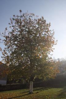 Elagage d'un cerisier avant et aprés
