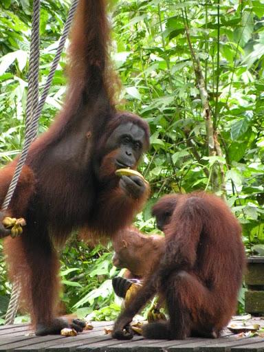 Orangutans Sepilok Borneo Malaysia