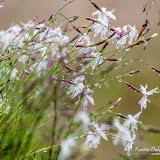 Гвоздика песчаная (Dianthus arenarius)