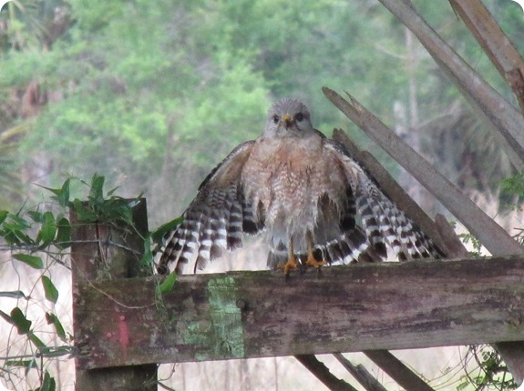 7 Red-shouldered Hawk (1)
