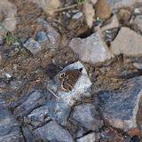 Satyrus ferula ferula (FABRICIUS, 1793), mâle. Tras le Mont, 820 m, Cocurès (Lozère), 7 août 2013. Photo : J.-M. Gayman