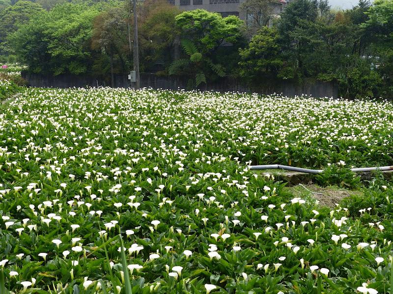 Yangminshan Shitoushan et Jinshan - P1040909.JPG