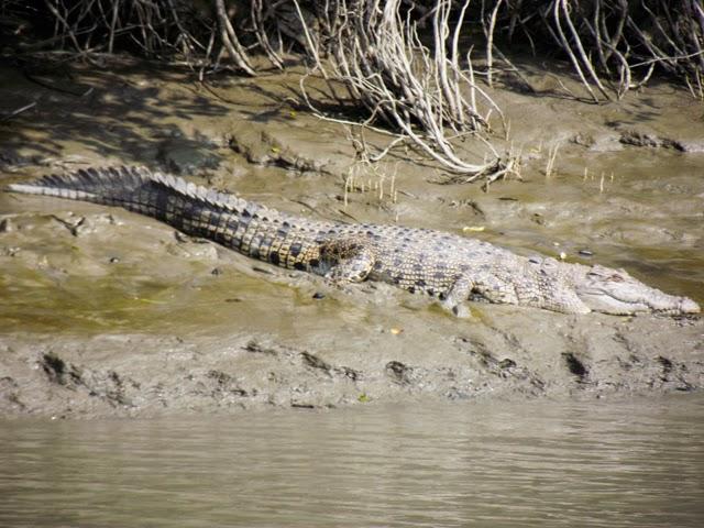 Salt-water crocodile inside Sundarbans