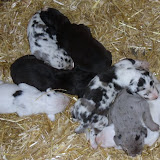 Graysee's litter @ 11 days
