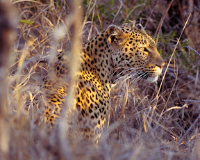 Female Leopard Hunting, South Africa