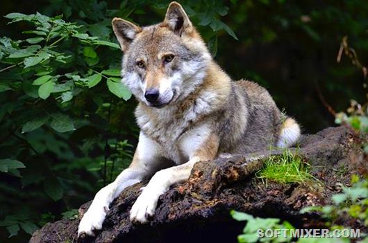 wolf-1336229__340