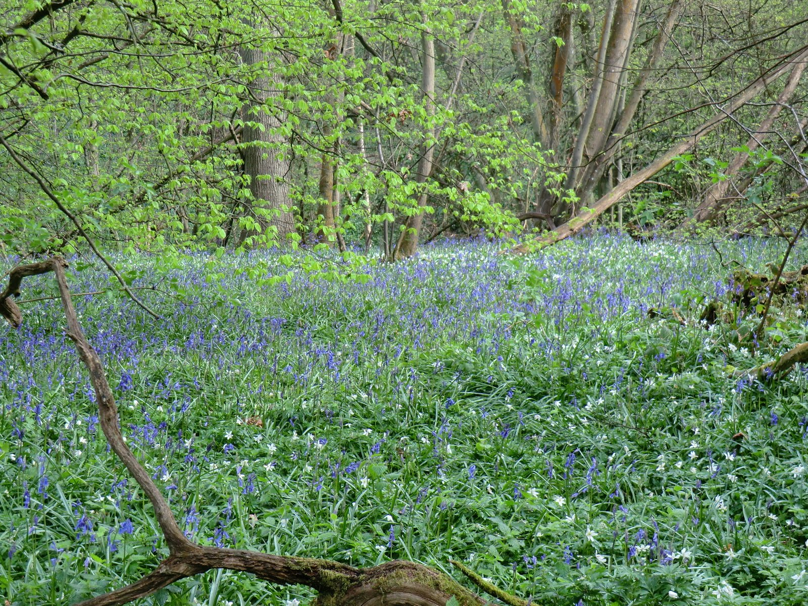 CIMG2596 Wood anemones and bluebells in Comb Wood