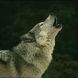 wolf-wallpaper-640x480.jpg