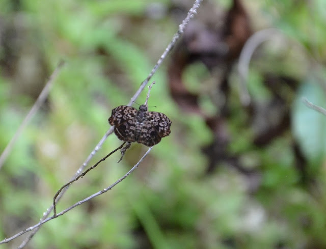 Hesperiidae : Cycloglypha thrasibulus thrasibulus FABRICIUS, 1793. Camp Caïman, Montagne de Kaw (Guyane). 13 novembre 2011. Photo : M. Belloin