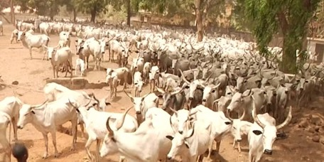 Benue frees 210 Cows Seized From Herdsmen After being payed 5m as fine