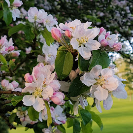 Apple Blossoms by Ingrid Anderson-Riley - Instagram & Mobile Android
