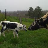 Randall Cattle