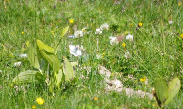 Accouplement de Colias phicomone (ESPER, 1780) : femelle visible. Alp da Segl, Val Fex, 2050 m (Engadine, Grisons, CH). 14 juillet 2013. Photo : J.-M. Gayman