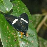 Agaristinae : Rothia agrius (HERRICH-SCHÄFFER, 1853). Parc d'Andasibe-Mantadia (Madagascar), 28 décembre 2013. Photo : T. Laugier