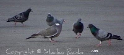 Pigeons. Paris. Copyright  © Shelley Banks, all rights reserved.