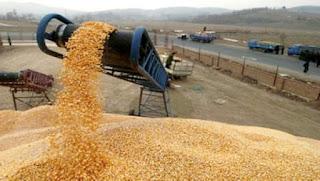 Algérie:186.000 quintaux de céréales collectés et stockés à Ghardaïa et Laghouat