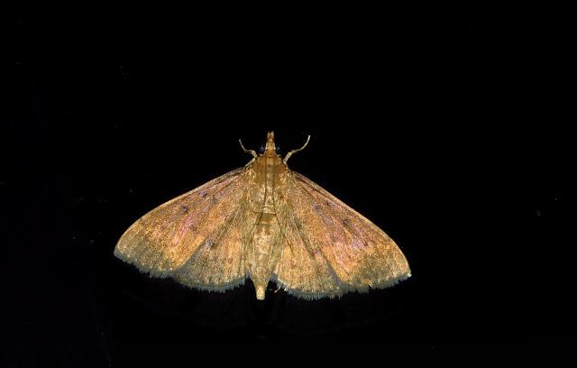 Crambidae : Pyraustinae : Herpetogramma licarsisalis WALKER, 1869. Umina Beach (New South Wales, Australie), 24 mars 2011. Photo : Barbara Kedzierski