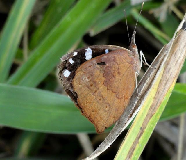 Eunica (Libythina) cuvierii (GODART, 1819), verso. Colider (Mato Grosso, Brésil), mai 2011. Photo : Cidinha Rissi
